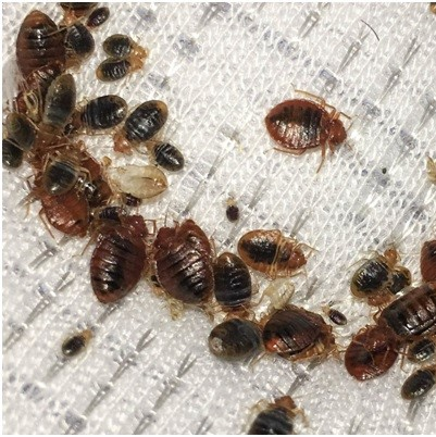 bed big pest control in Sevenoaks